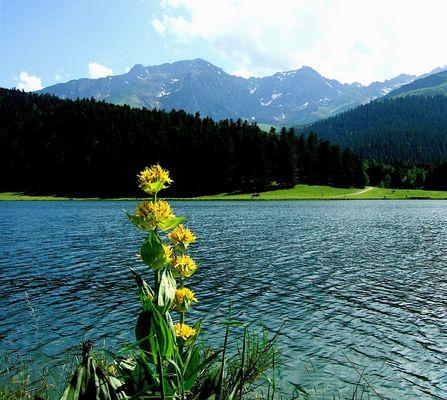 Gentiane , lac de Payolle et les Pyrénées