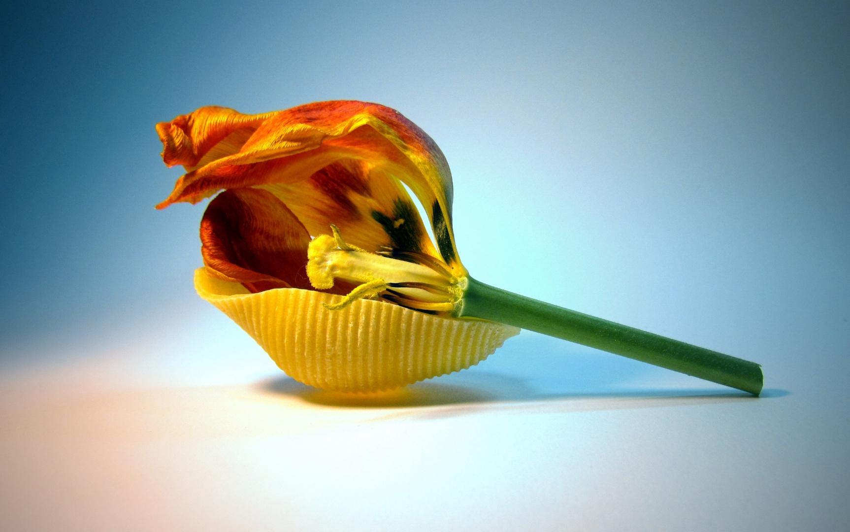 genudelte tulpe..........