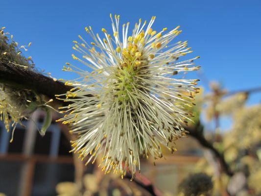 ...geöffneter Blütenstand der Hängeweide...