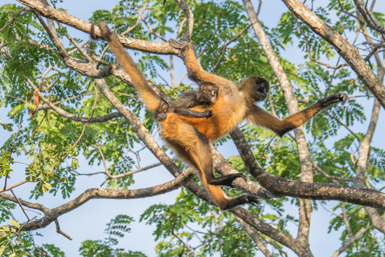 Geoffroy-Klammeraffe (Ateles geoffroyi) in der Nähe von La Cruz, Costa Rica