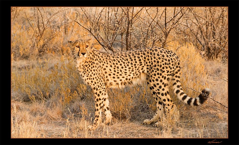 Gepard #1
