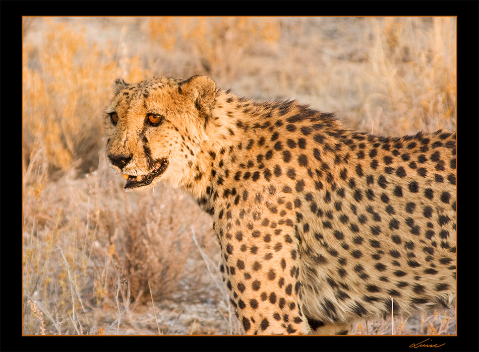 Gepard #3