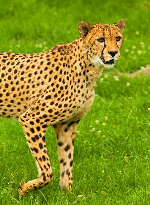 "Gepard"" (Acinonyx jubatus)"