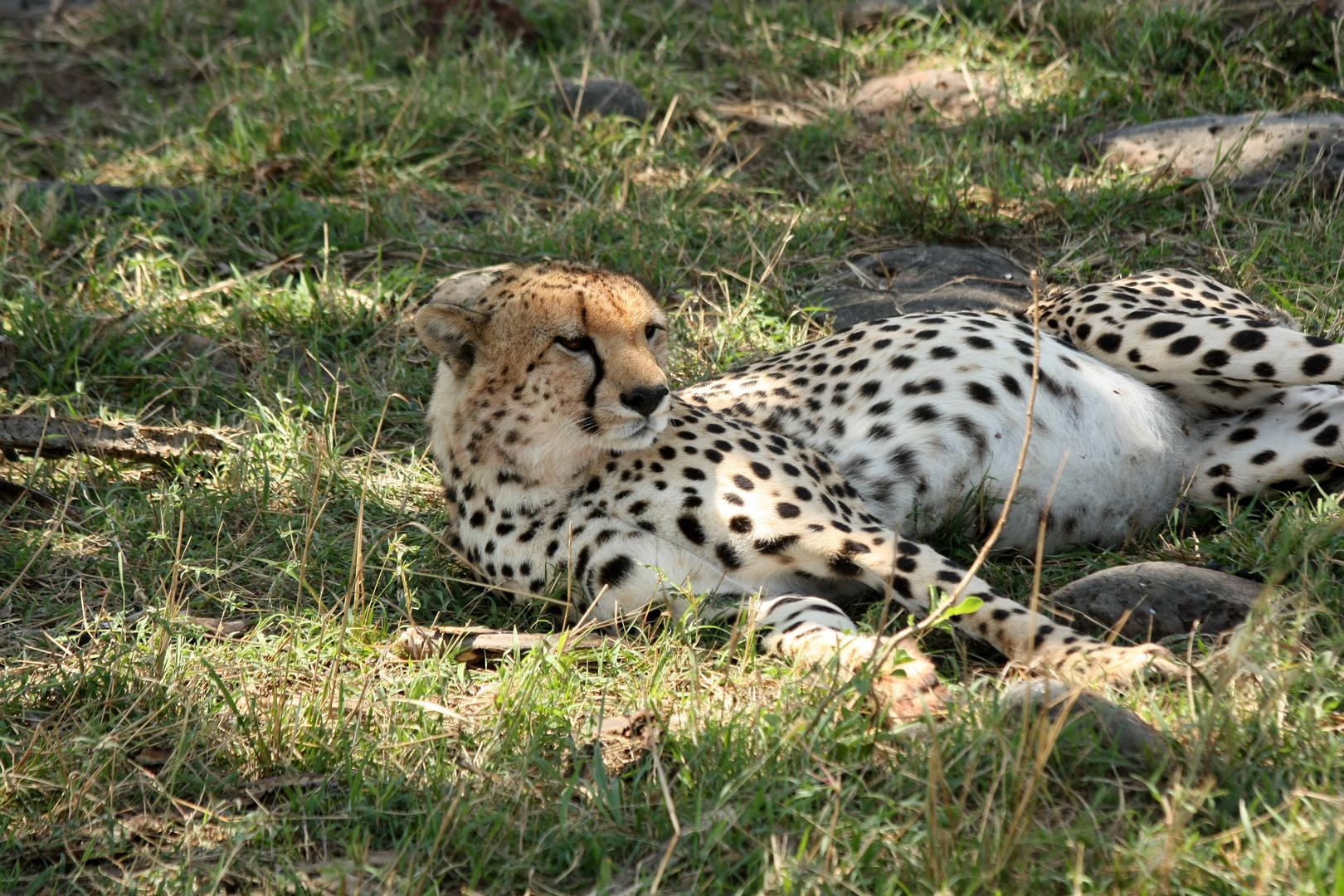 Gepard (Acinonyx jubatus)...