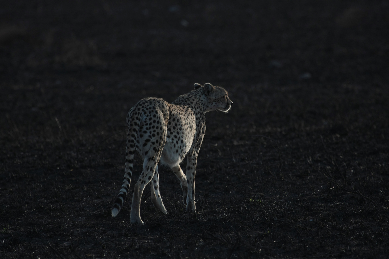 Gepard am Morgen