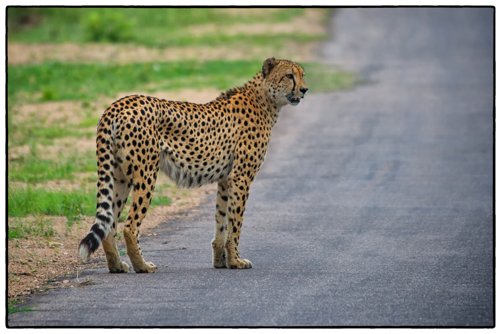 Gepard at Krüger