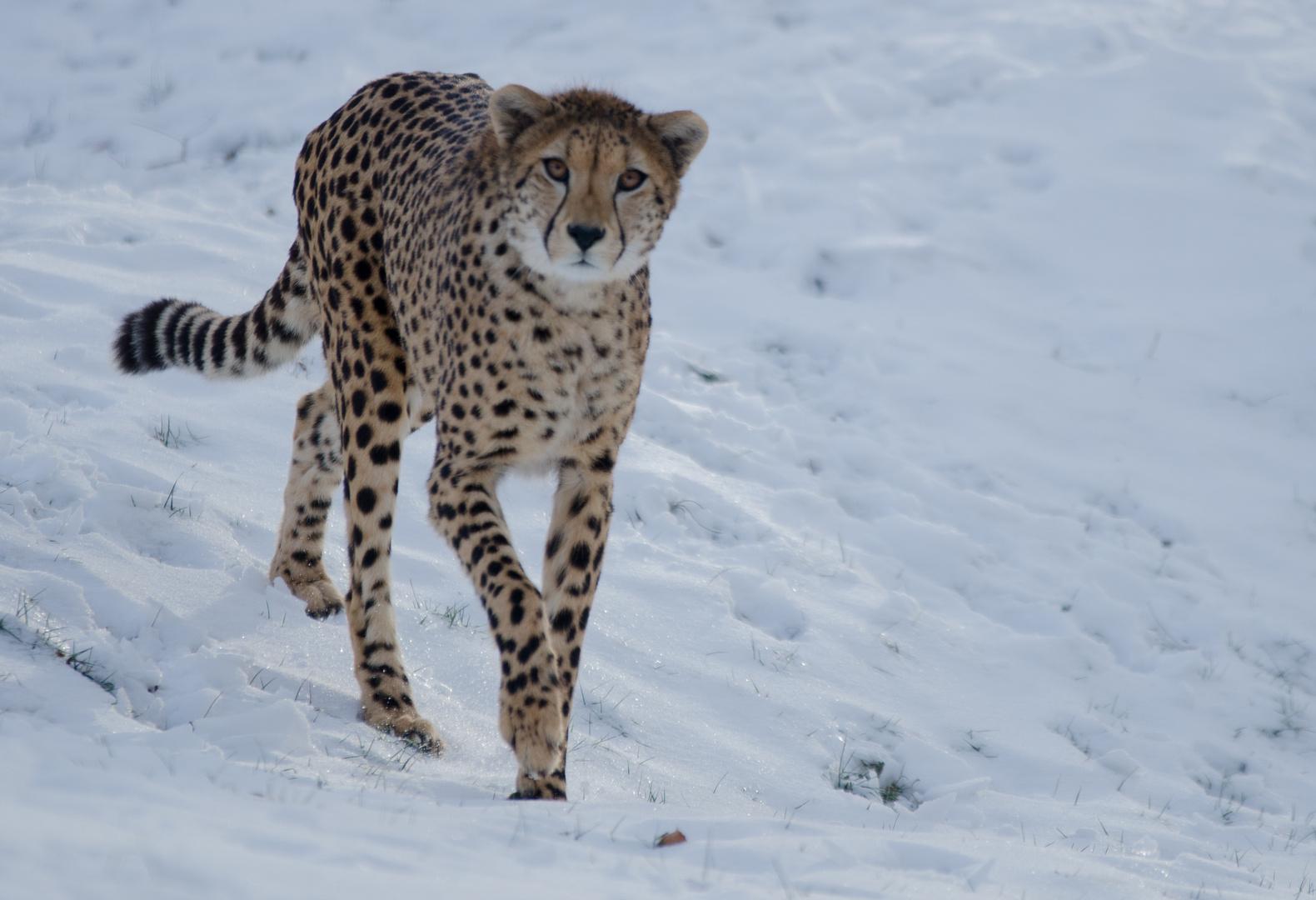 Gepard auf den schnee