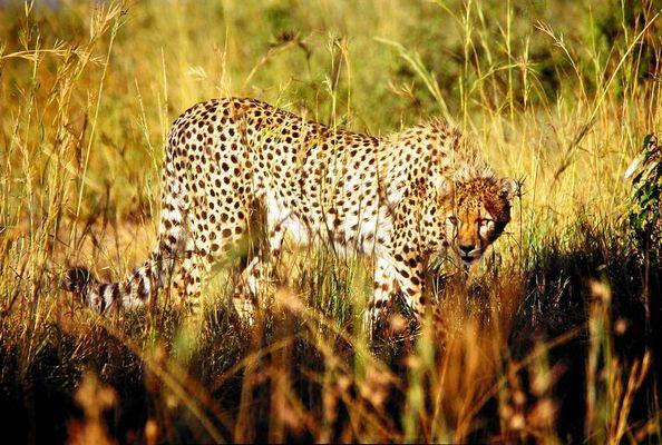 Gepard auf der Pirsch