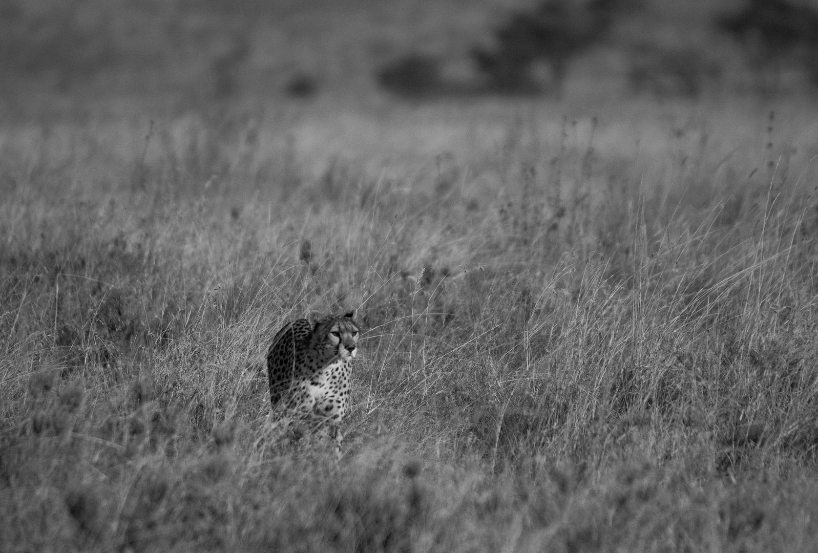Gepard auf Pirsch