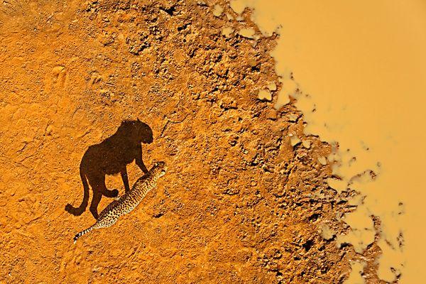 Gepard aus der Vogelperspektive