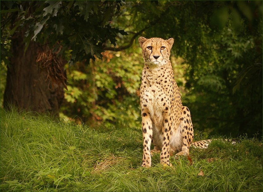 Gepard...