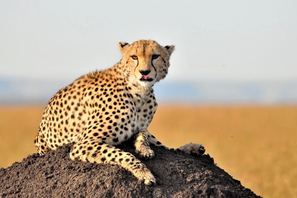 Gepard / Cheetah / duma