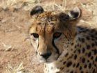 Gepard - das schnellste Tier der Welt