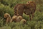 Gepard-Familie - 2