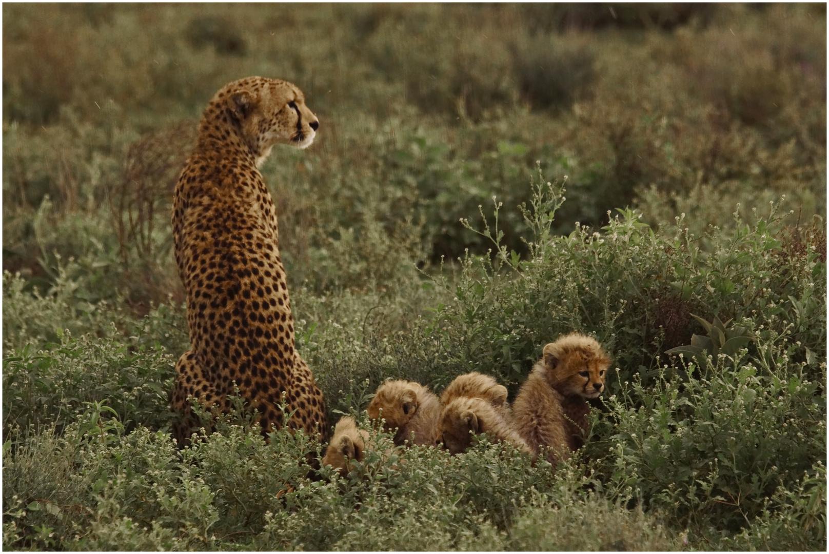 Gepard - Familie - 3