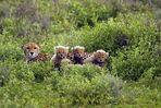 Gepard - Familie - 4