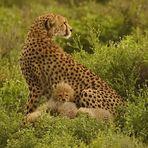 Gepard-Familie