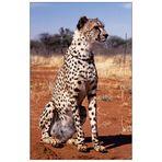 Gepard für Gabor zum Gucken
