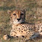 Gepard, ganz klassisch ...