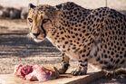 Gepard hautnah