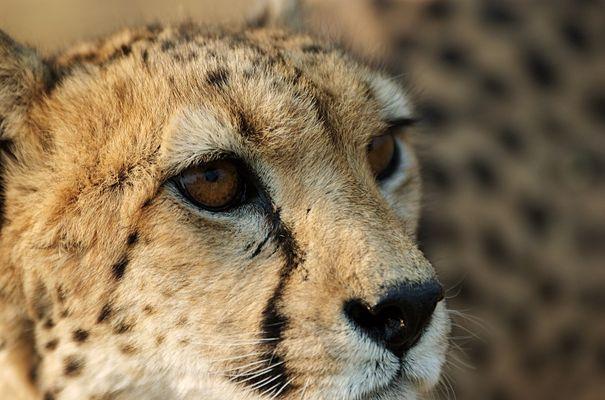 Gepard hautnah [K]