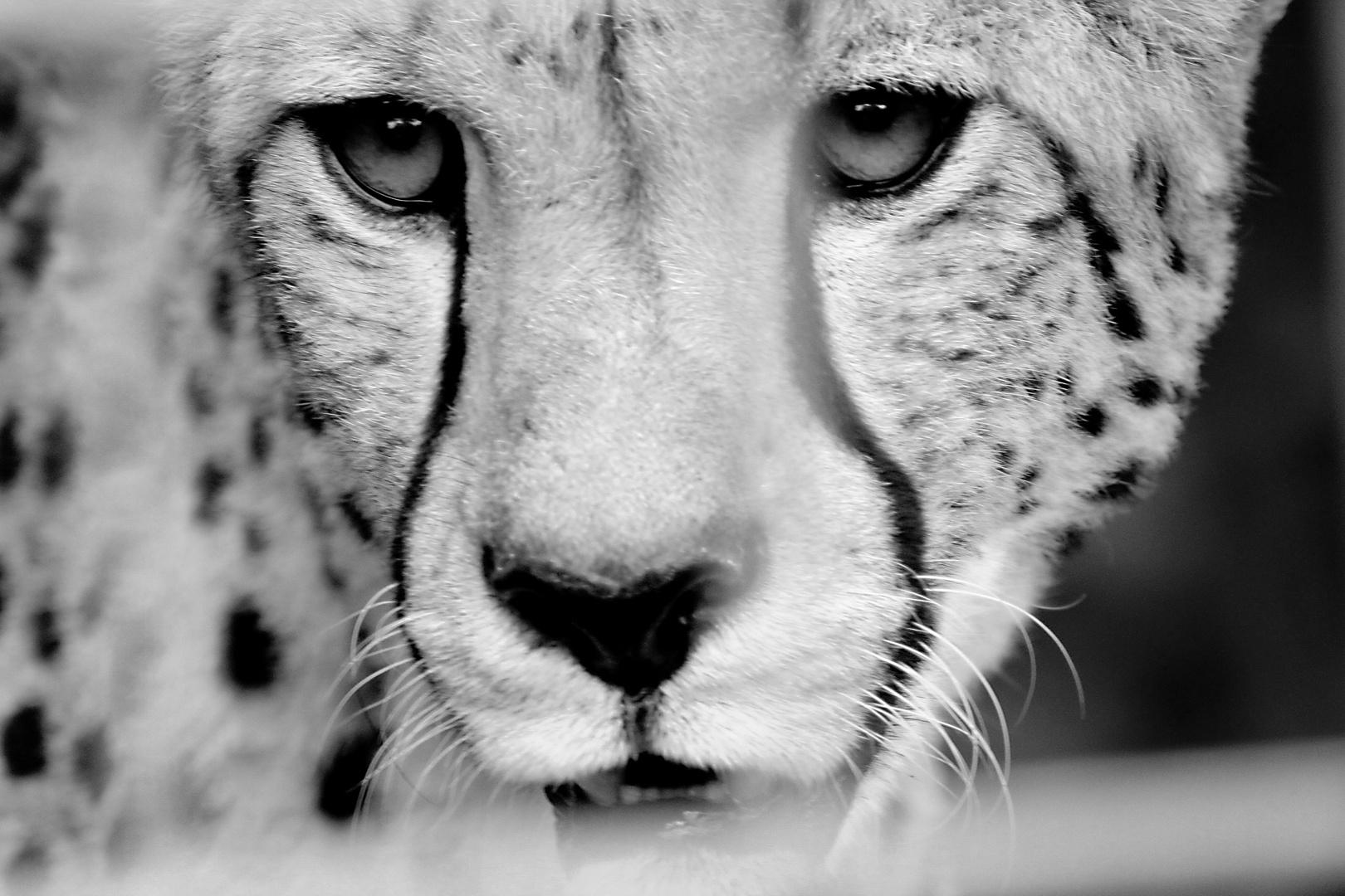 Gepard hinter Gittern