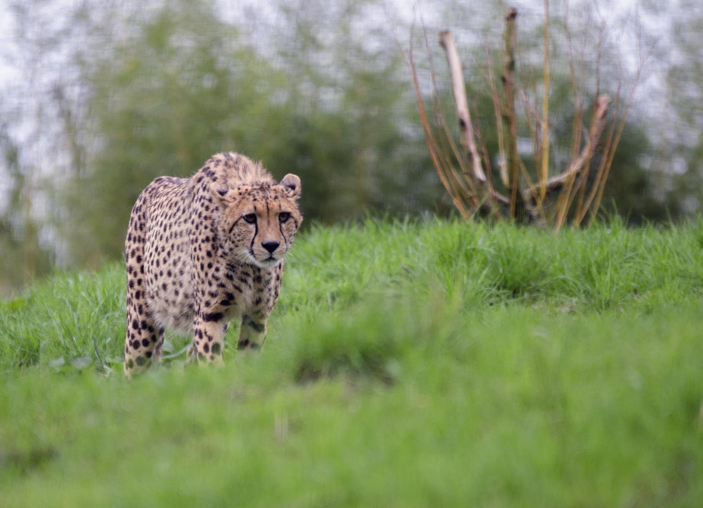 Gepard im aachener euregio zoo