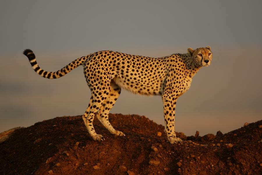 Gepard im afrikanischen Morgenlicht