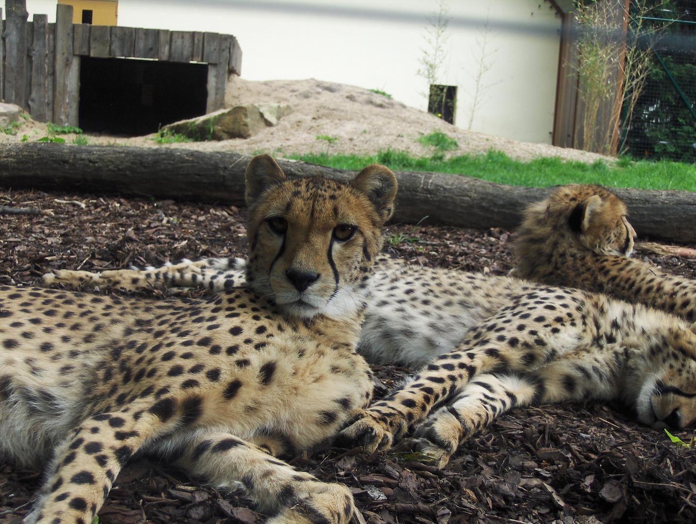 Gepard im Bernburger Tiergarten