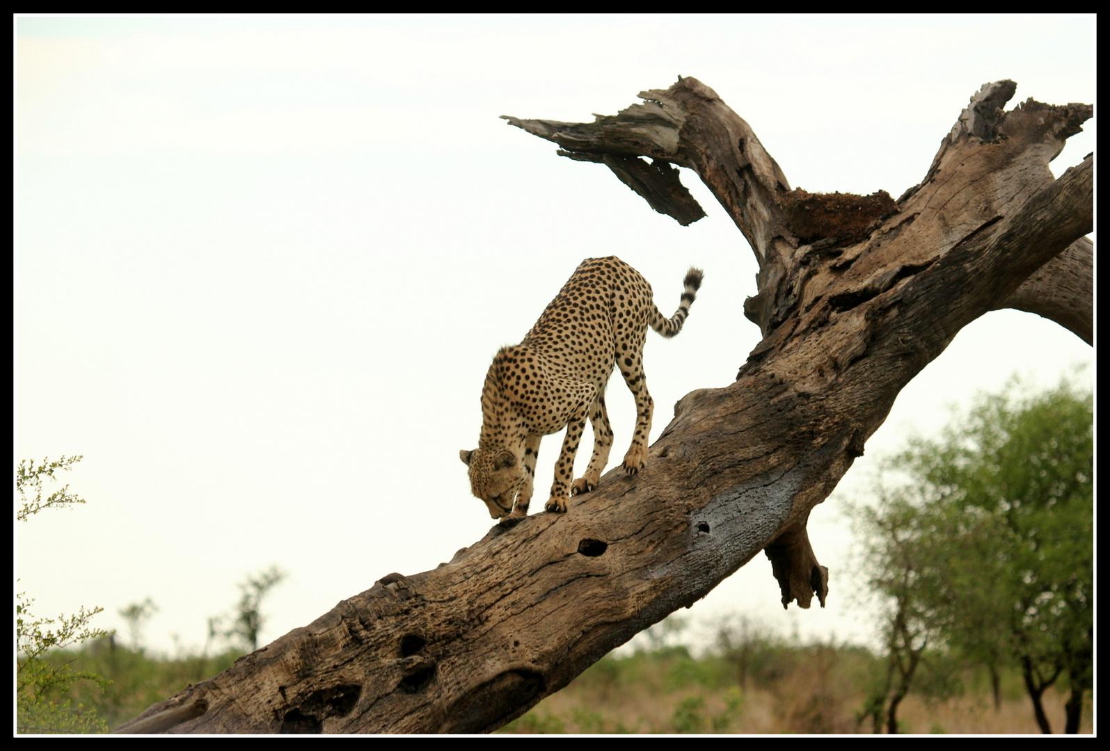 Gepard im Krüger NP