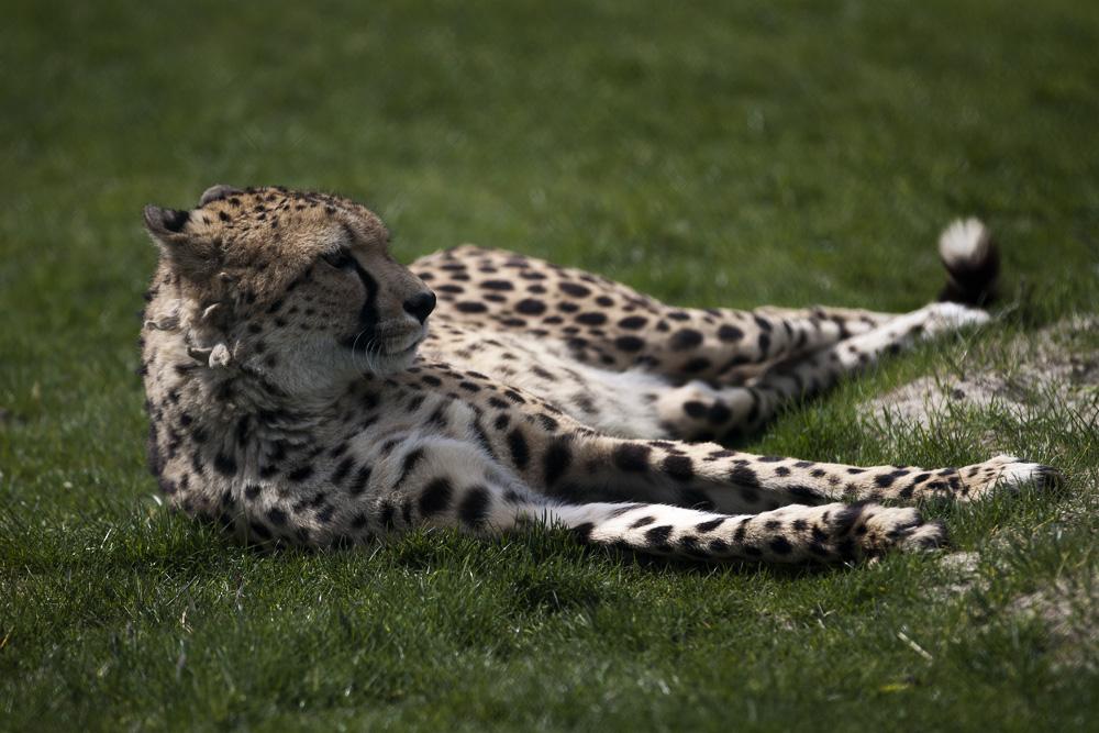 Gepard im Safari Park