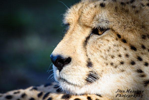 Gepard im Tenikwa Wildlife Awareness Centre