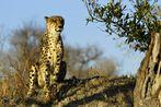 Gepard im winterlichen Sonnenlicht