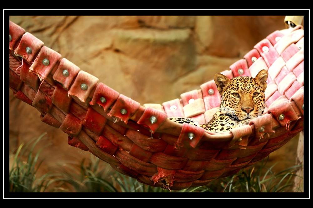 Gepard in der Hängematte