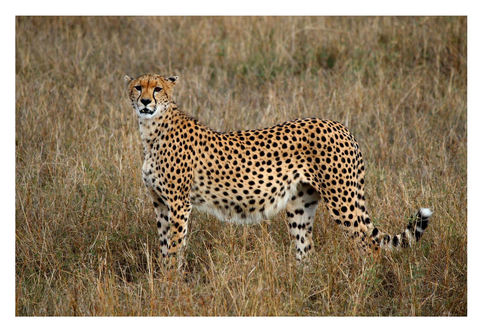 Gepard in der Masai Mara