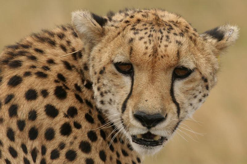 Gepard in der Massai Mara - Kenia