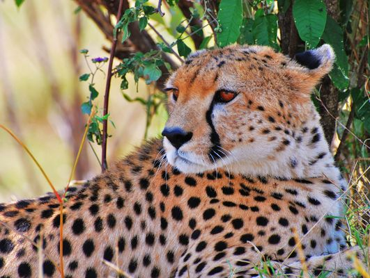 Gepard in der Massaimara Kenia