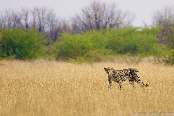 Gepard in Savuti