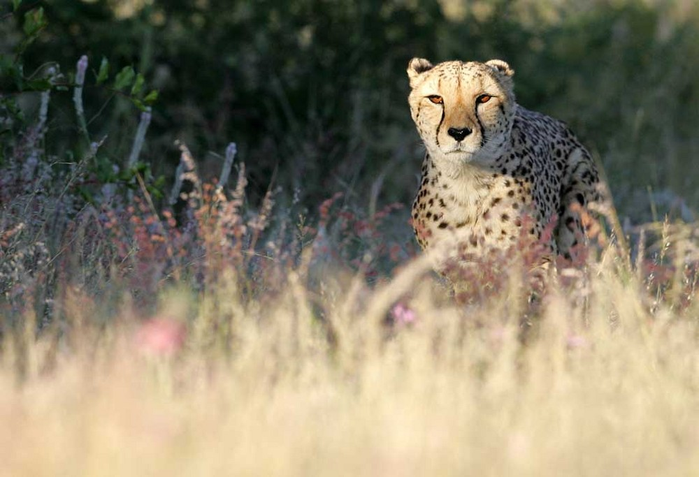 Gepard in vollem Sprint