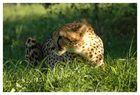 Gepard - Krüger Nationalpark, Südafrika