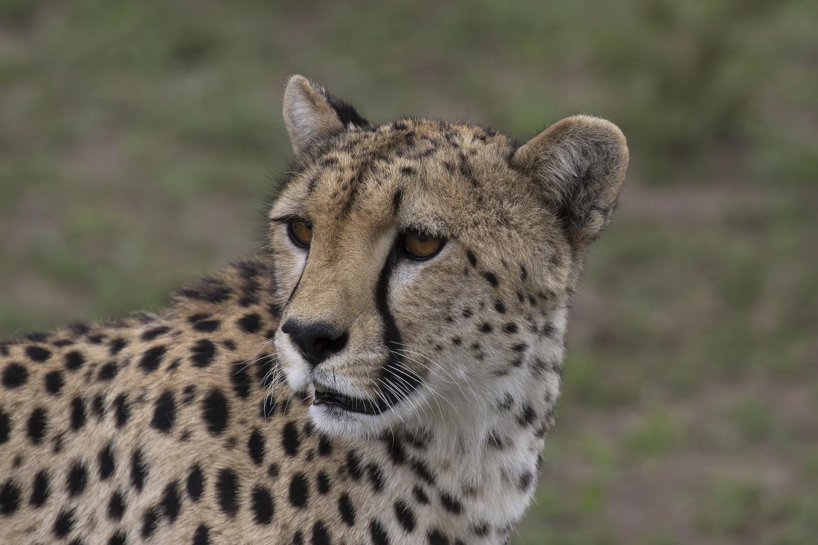 Gepard lauert