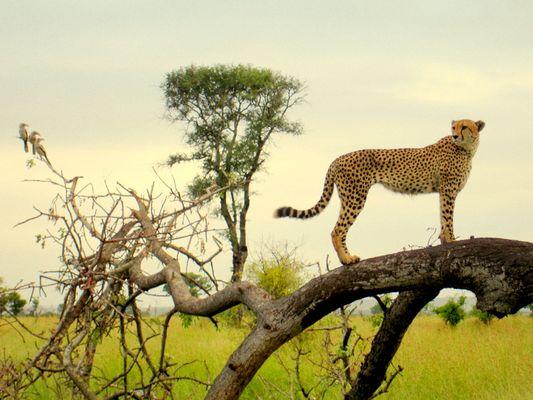 Gepard mit 3 Gelbschnabeltokos im Krugerpark
