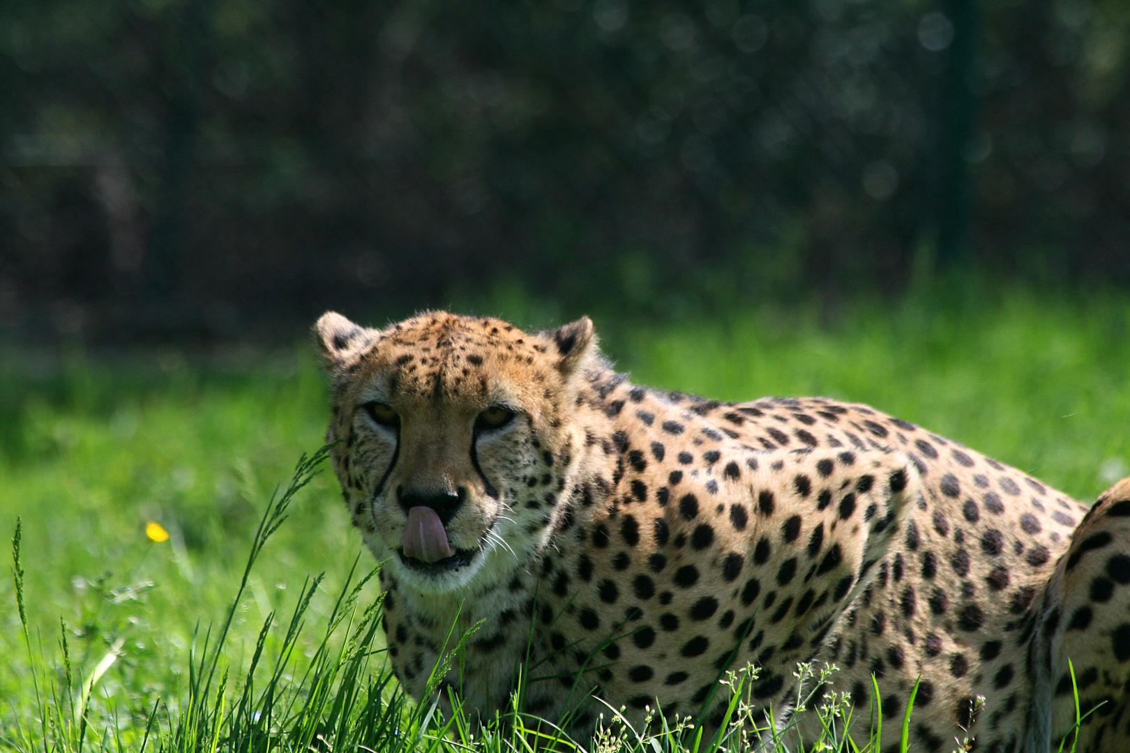 Gepard mit Lappen