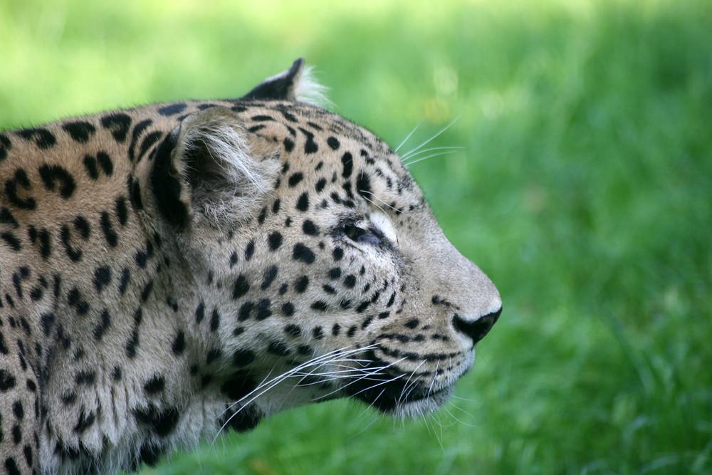 Gepard mit Weitblick