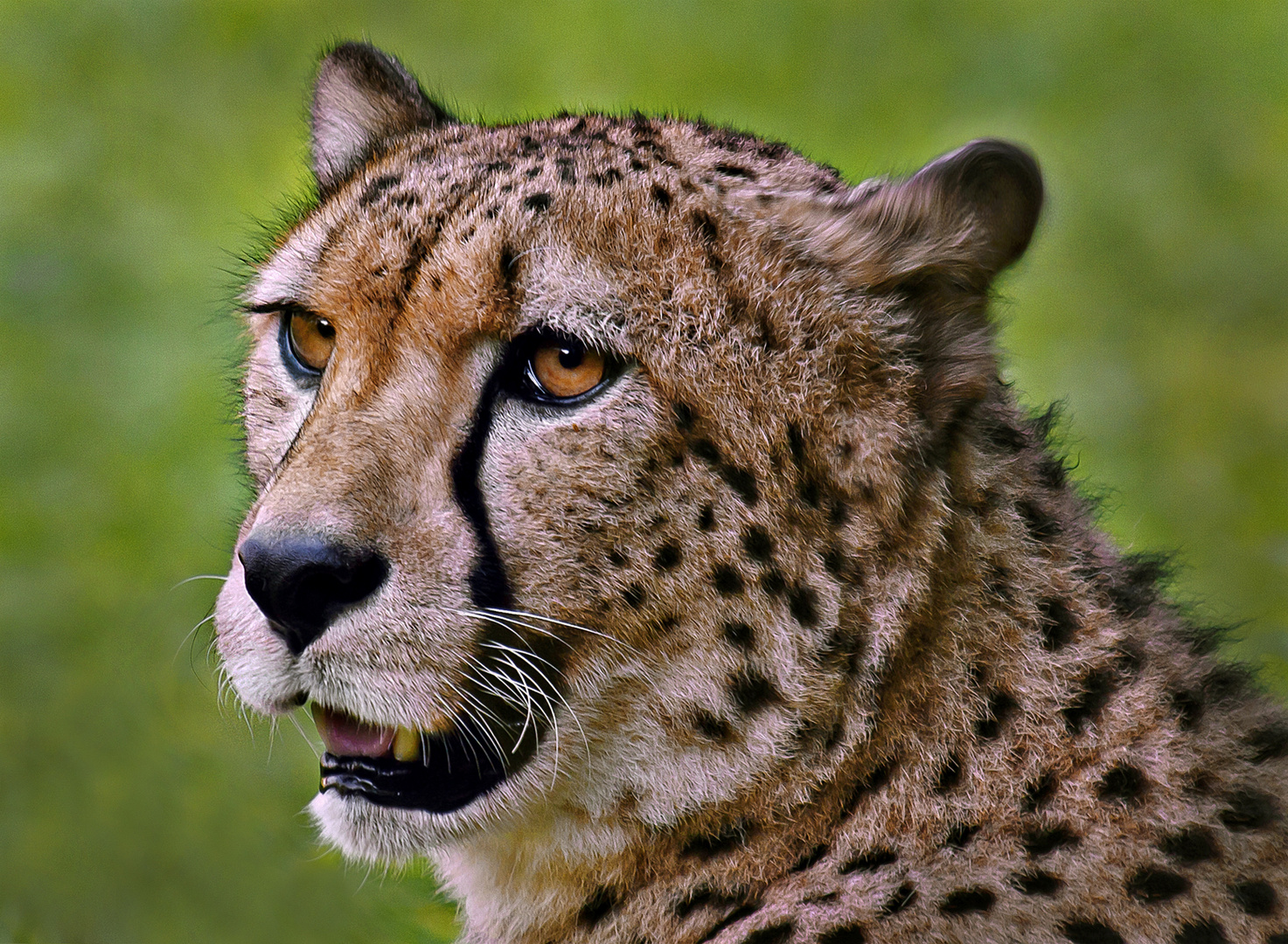 Gepard Porträt