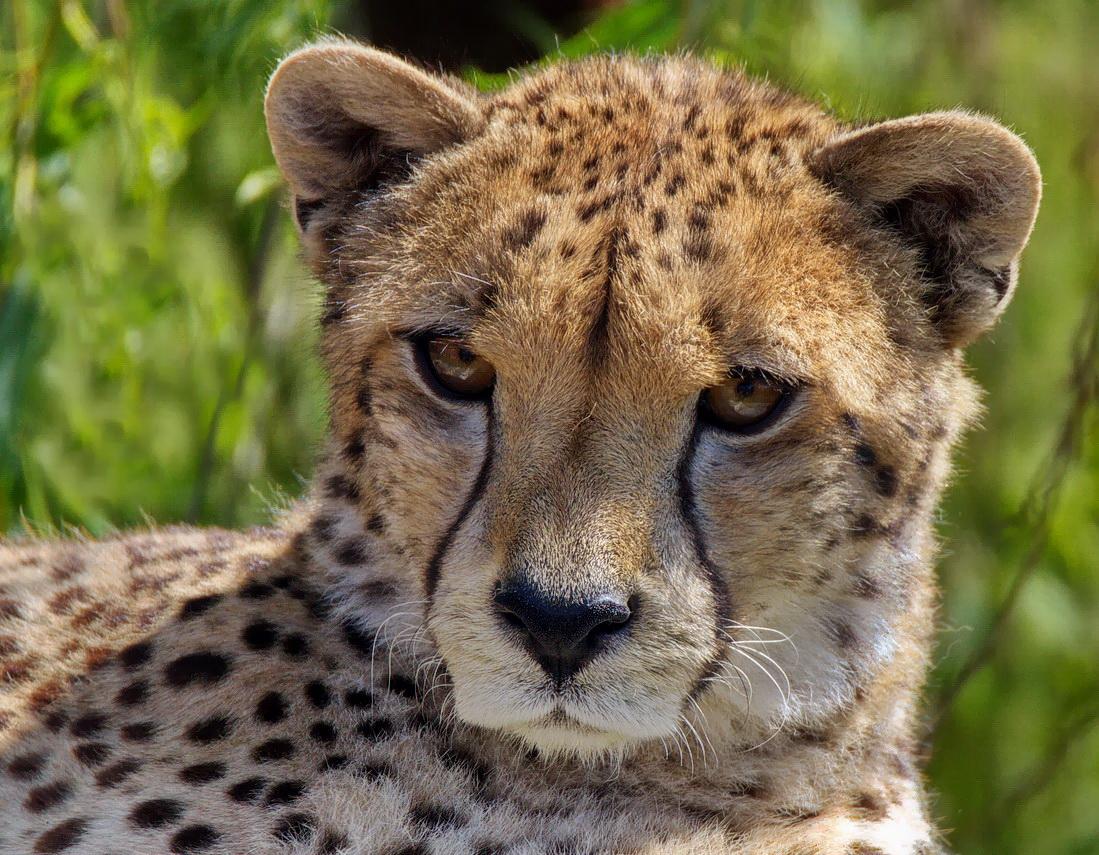 Gepard-Portrait