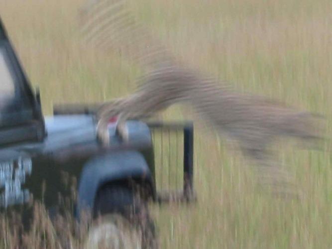 Gepard springt