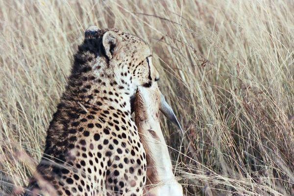 Gepard / Thomson Gazelle