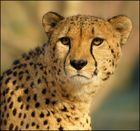 Gepard & Wintersonne