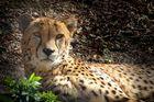 Gepard (Z00 Neuwied)